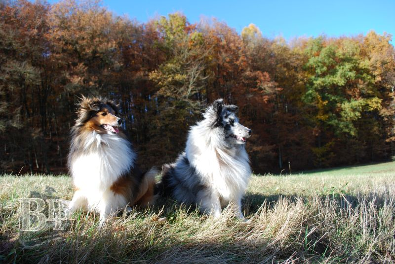 Black_Pearls_Paradise_Shelties_BestOf201810.jpg