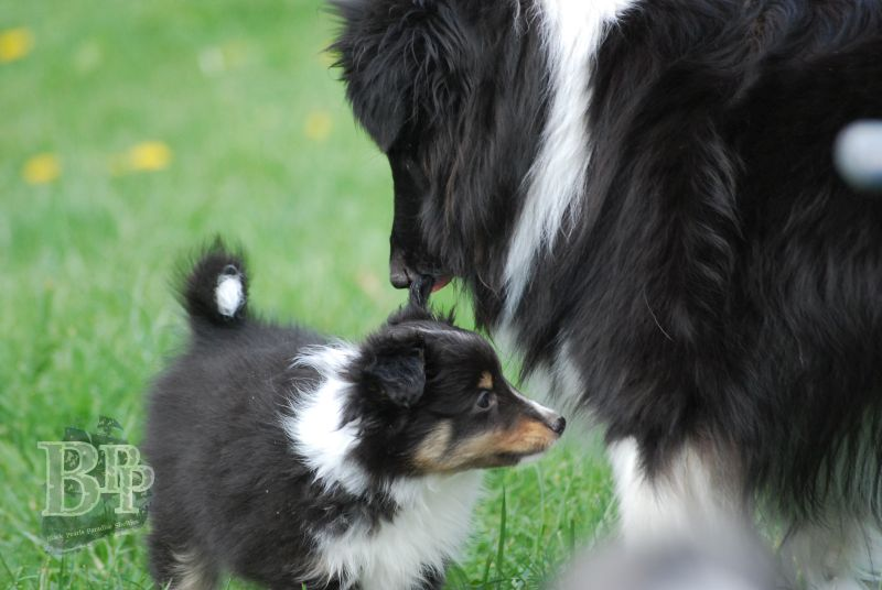 Black_Pearls_Paradise_Shelties_BestOf2018105.jpg