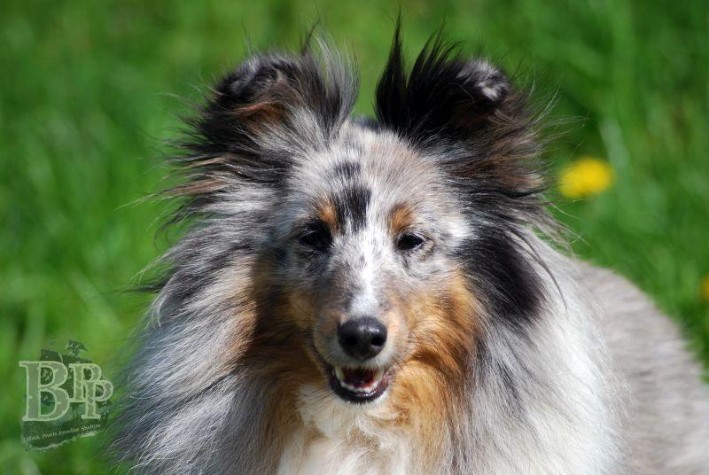 Black_Pearls_Paradise_Shelties_BestOf2018115.jpg