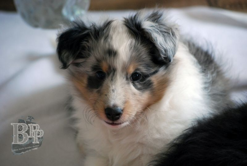 Black_Pearls_Paradise_Shelties_BestOf2018118.jpg