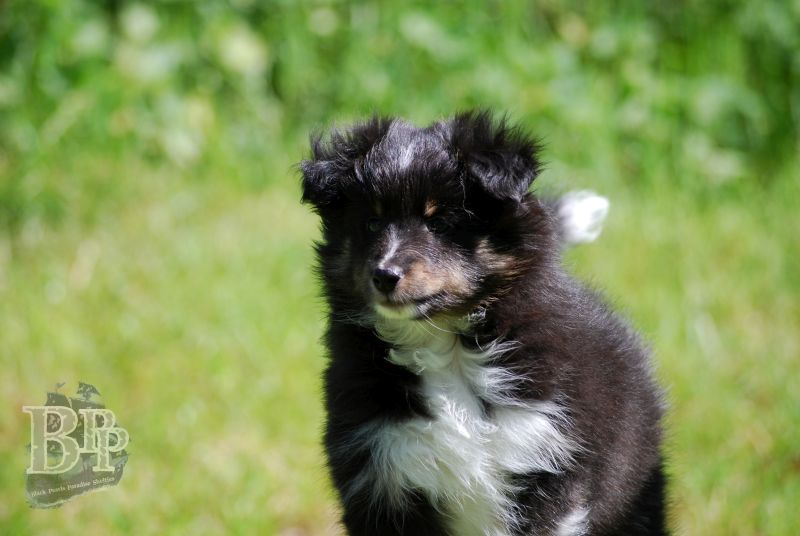 Black_Pearls_Paradise_Shelties_BestOf2018126.jpg