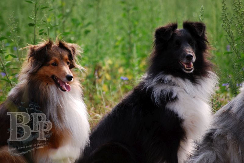 Black_Pearls_Paradise_Shelties_BestOf2018153.jpg