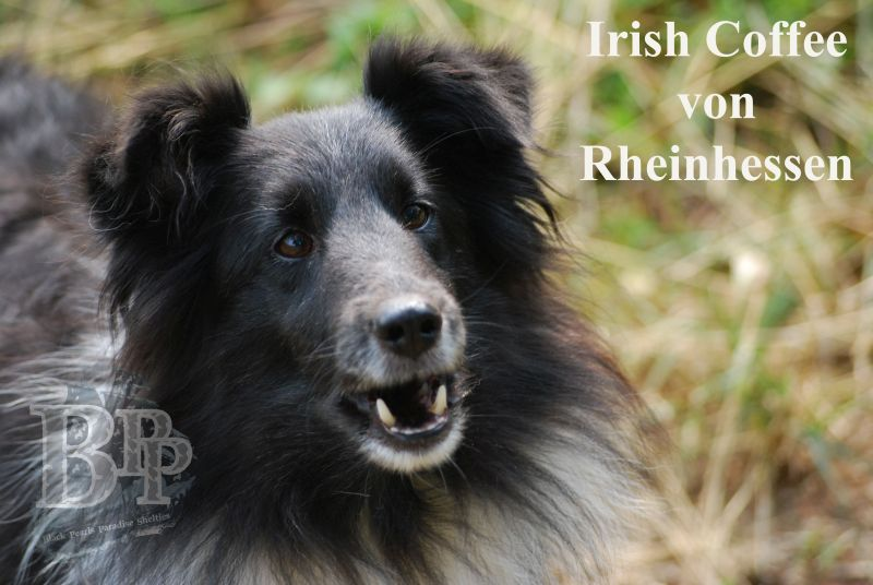 Black_Pearls_Paradise_Shelties_BestOf2018161.jpg