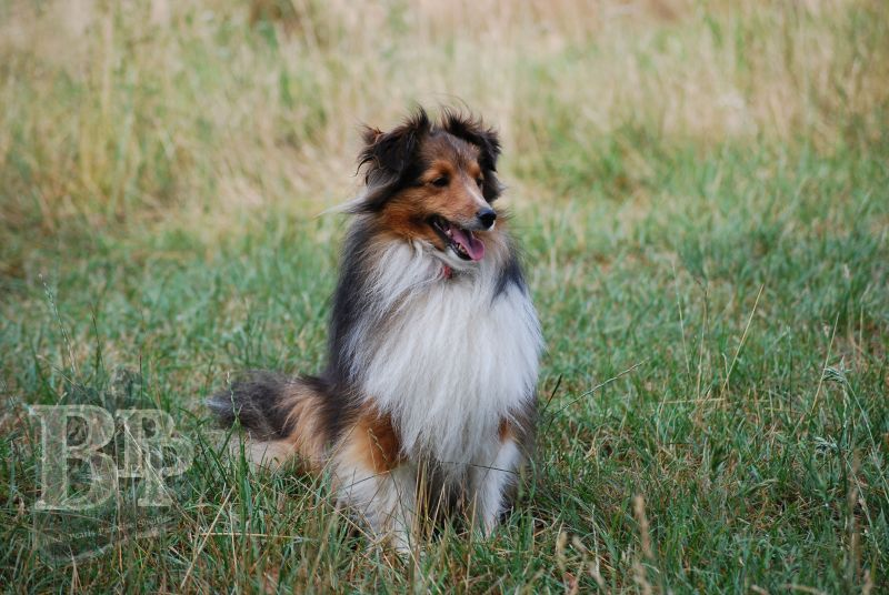 Black_Pearls_Paradise_Shelties_BestOf2018162.jpg
