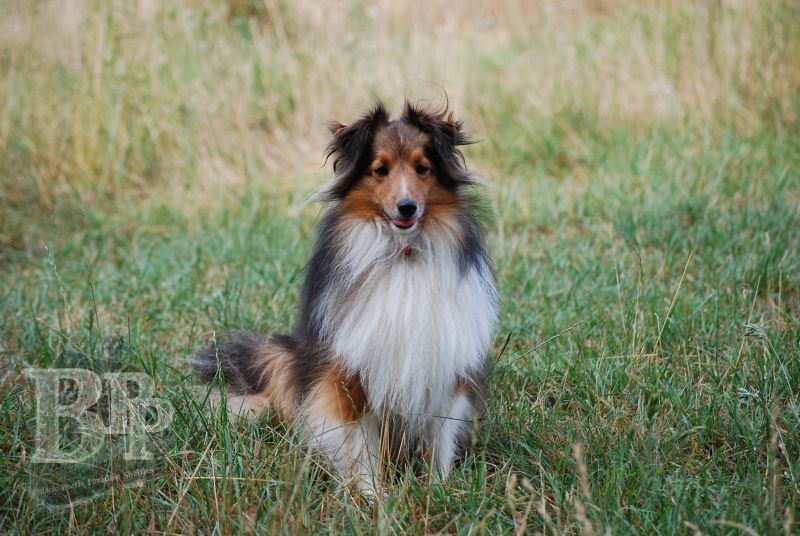 Black_Pearls_Paradise_Shelties_BestOf2018163.jpg
