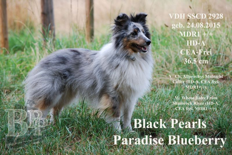 Black_Pearls_Paradise_Shelties_BestOf2018164.jpg
