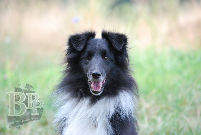 Black_Pearls_Paradise_Shelties_BestOf2018166.jpg