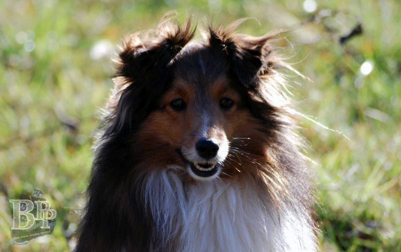 Black_Pearls_Paradise_Shelties_BestOf201817.jpg