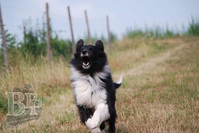 Black_Pearls_Paradise_Shelties_BestOf2018179.jpg