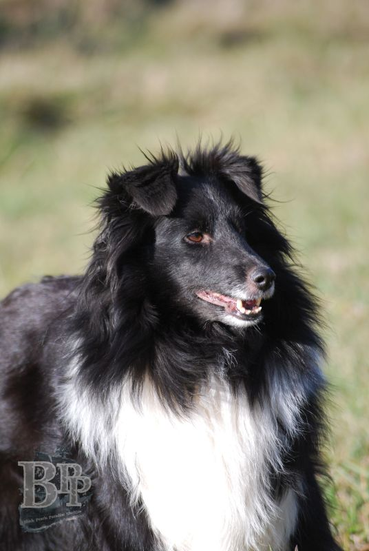 Black_Pearls_Paradise_Shelties_BestOf201821.jpg