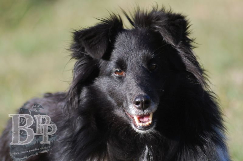 Black_Pearls_Paradise_Shelties_BestOf201823.jpg