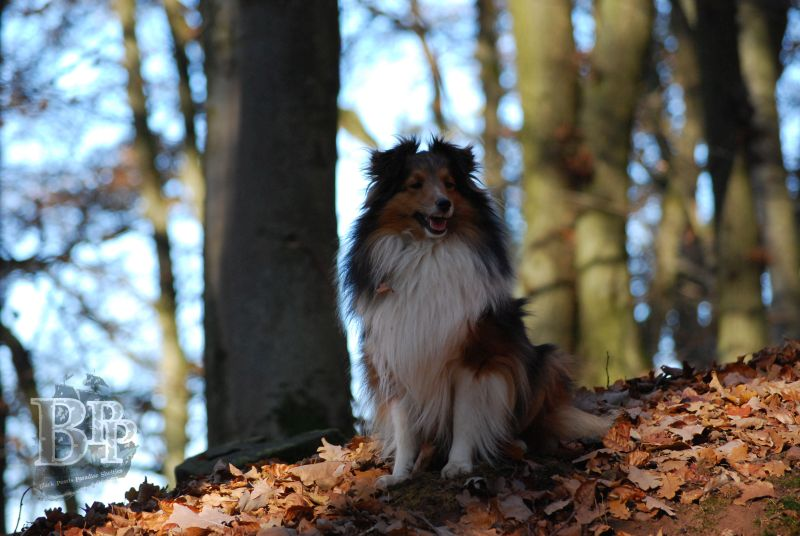 Black_Pearls_Paradise_Shelties_BestOf201829.jpg