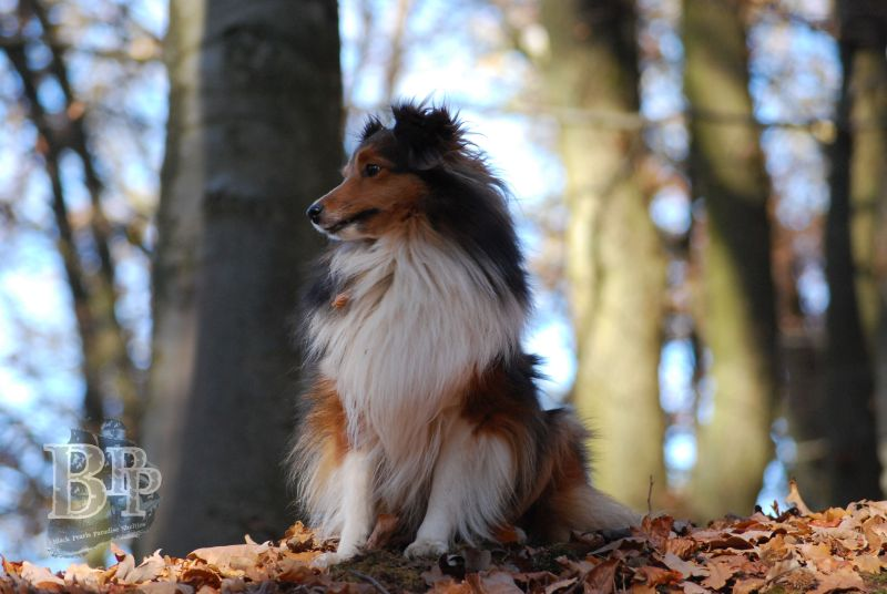 Black_Pearls_Paradise_Shelties_BestOf201831.jpg