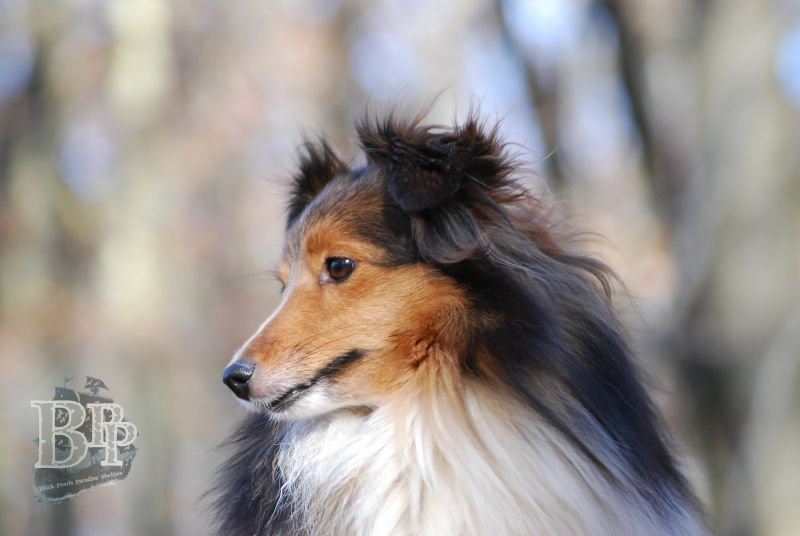 Black_Pearls_Paradise_Shelties_BestOf201832.jpg