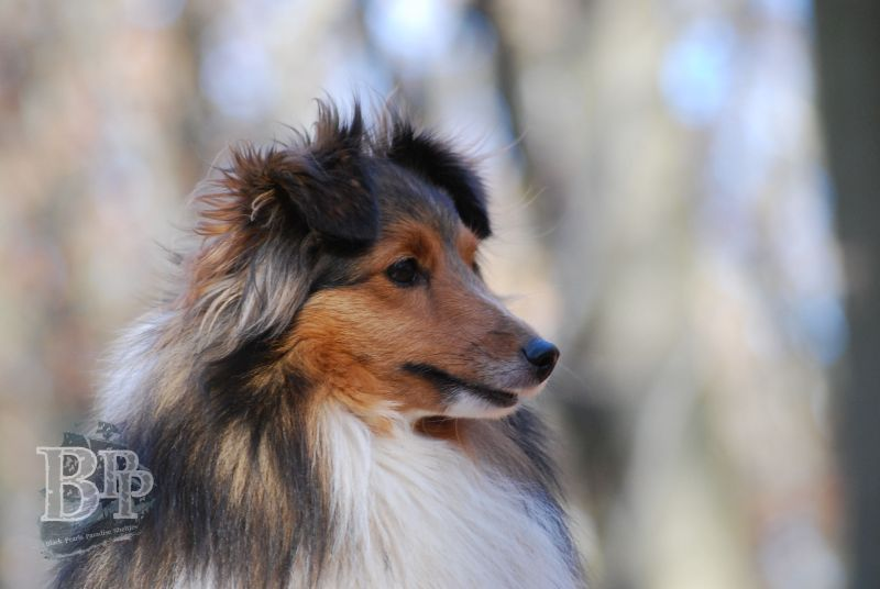 Black_Pearls_Paradise_Shelties_BestOf201833.jpg