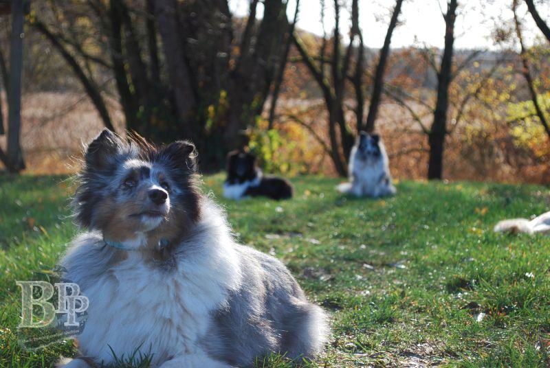 Black_Pearls_Paradise_Shelties_BestOf20185.jpg