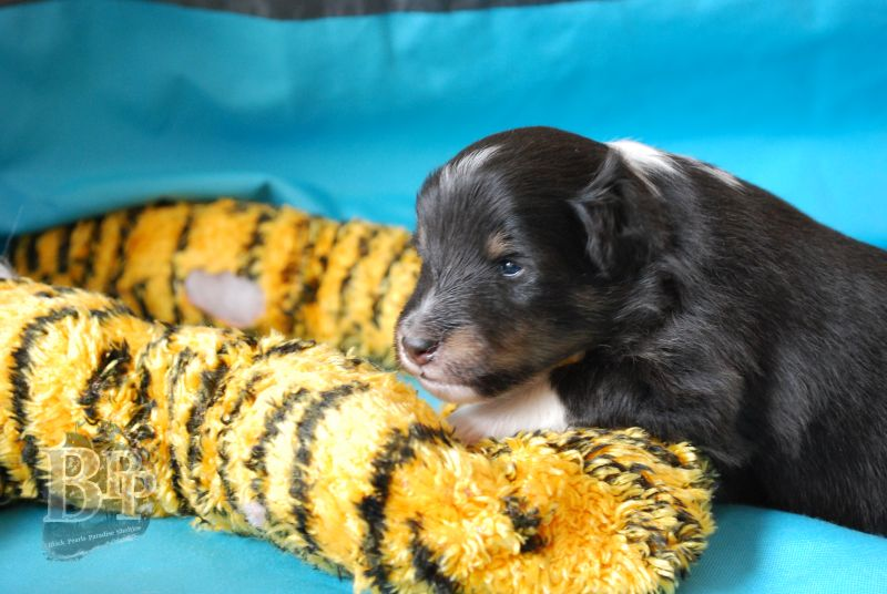 Black_Pearls_Paradise_Shelties_BestOf201850.jpg
