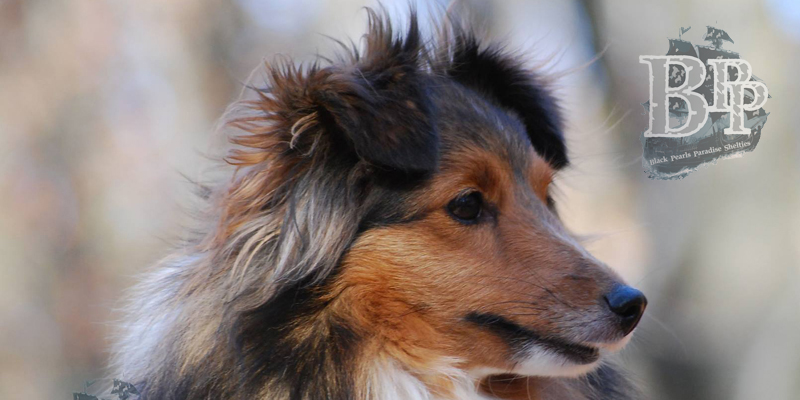 images/Inhalte/header-charlotte-shelties-of-blackpearlsparadise.jpg