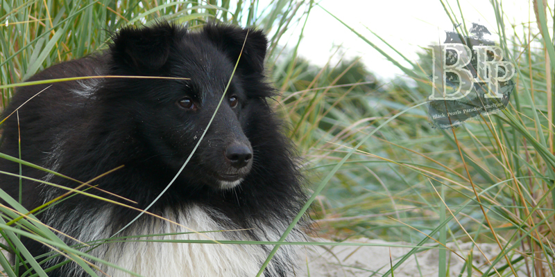 images/Inhalte/header-coffee-shelties-of-blackpearlsparadise.jpg
