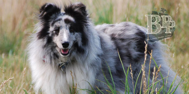 images/Inhalte/header-sky-shelties-of-blackpearlsparadise.jpg