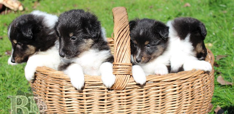 Black_Pearls_Paradise_Shelties_B-Wurf_800X4001.jpg