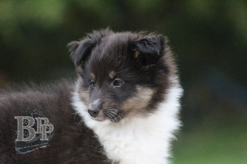 Black_Pearls_Paradise_Shelties_B-Wurf_800X400100.jpg