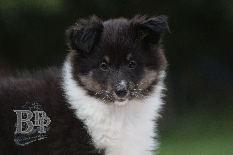 Black_Pearls_Paradise_Shelties_B-Wurf_800X400101.jpg