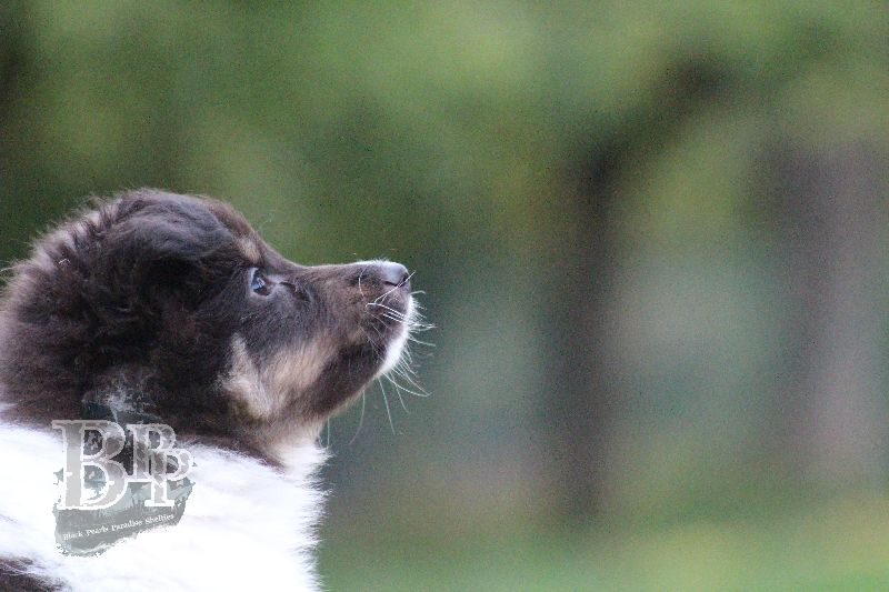 Black_Pearls_Paradise_Shelties_B-Wurf_800X400102.jpg