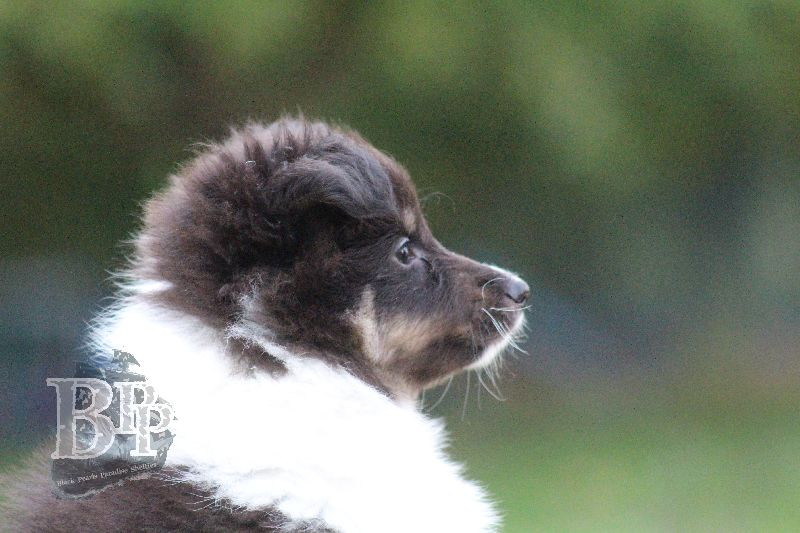 Black_Pearls_Paradise_Shelties_B-Wurf_800X400103.jpg