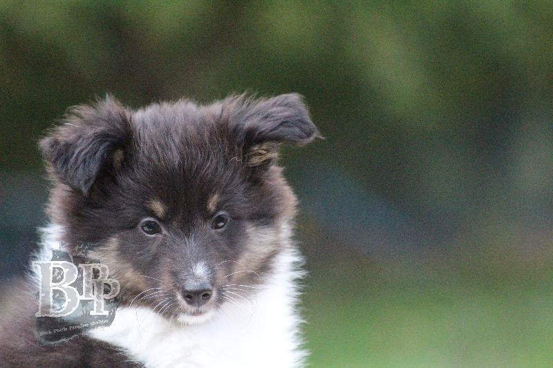 Black_Pearls_Paradise_Shelties_B-Wurf_800X400104.jpg