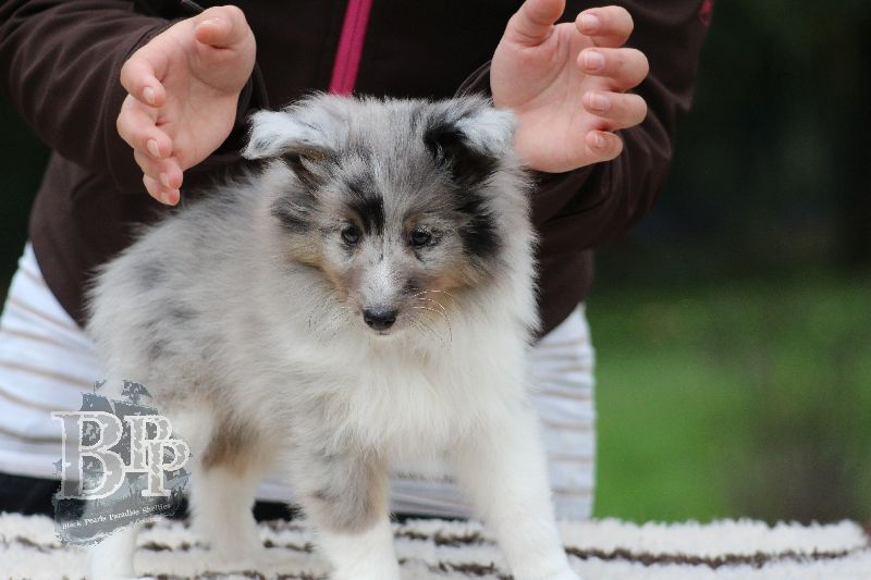 Black_Pearls_Paradise_Shelties_B-Wurf_800X400105.jpg