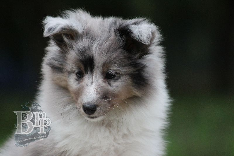 Black_Pearls_Paradise_Shelties_B-Wurf_800X400106.jpg
