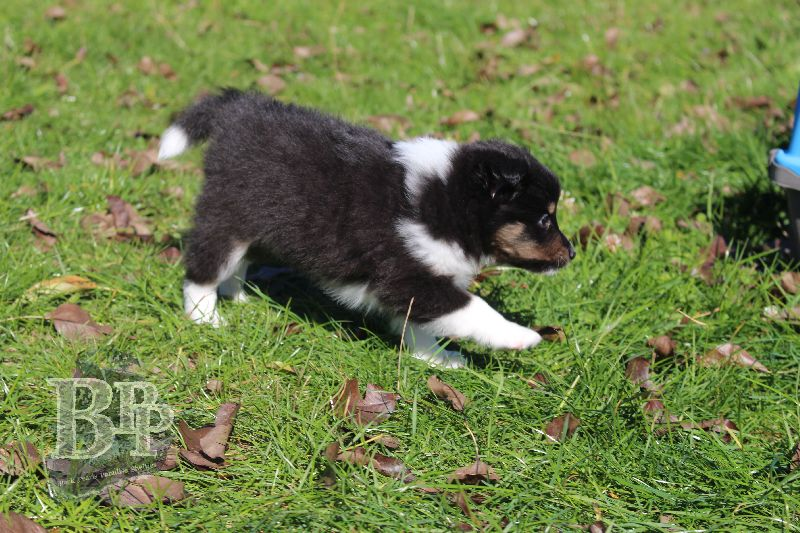 Black_Pearls_Paradise_Shelties_B-Wurf_800X40011.jpg