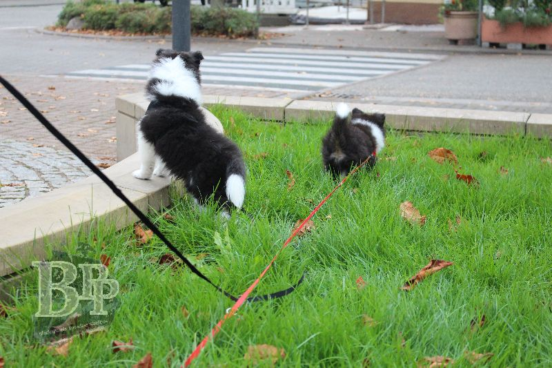 Black_Pearls_Paradise_Shelties_B-Wurf_800X400114.jpg