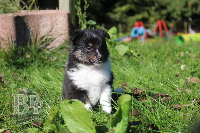 Black_Pearls_Paradise_Shelties_B-Wurf_800X40012.jpg