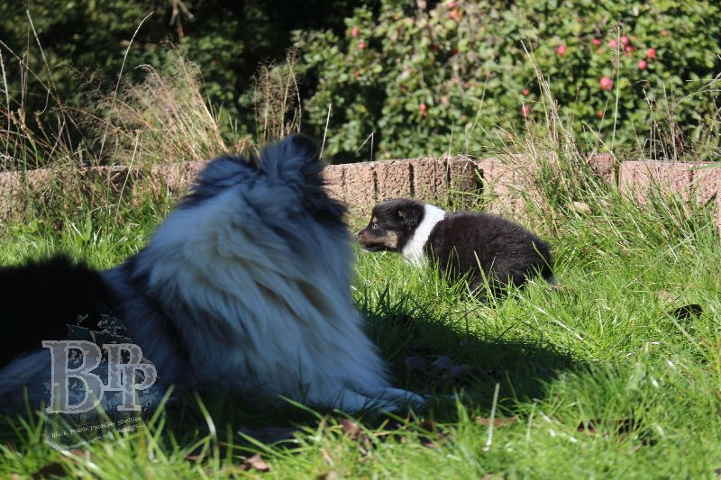Black_Pearls_Paradise_Shelties_B-Wurf_800X40022.jpg