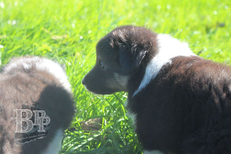 Black_Pearls_Paradise_Shelties_B-Wurf_800X4003.jpg