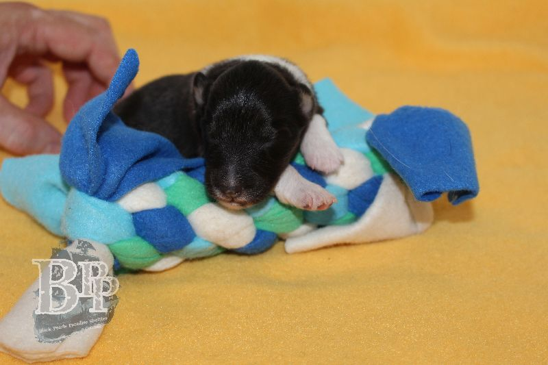 Black_Pearls_Paradise_Shelties_B-Wurf_800X40033.jpg