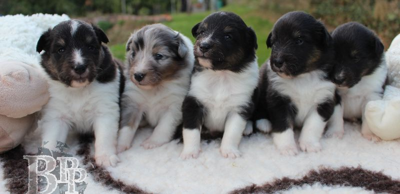 Black_Pearls_Paradise_Shelties_B-Wurf_800X40039.jpg