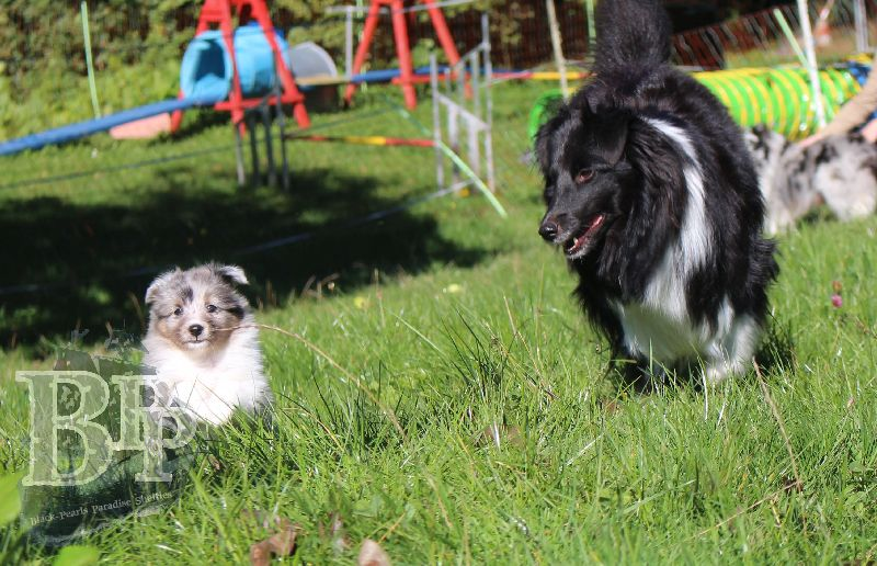 Black_Pearls_Paradise_Shelties_B-Wurf_800X4004.jpg