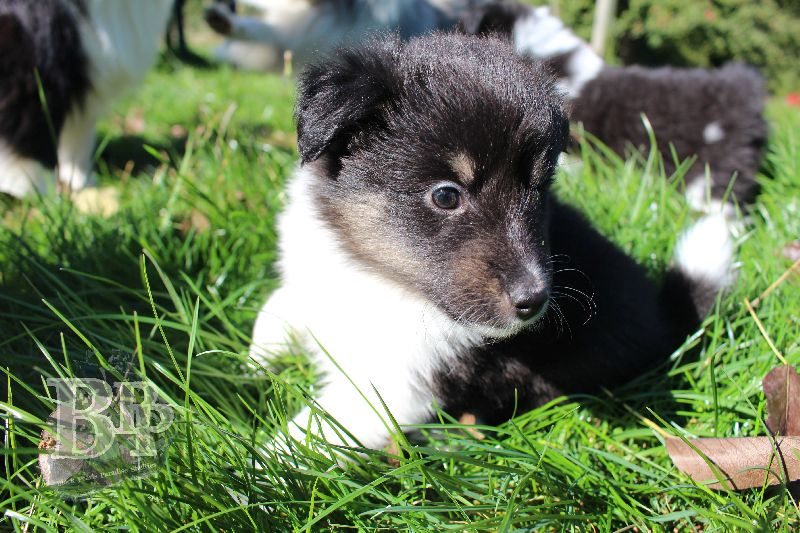 Black_Pearls_Paradise_Shelties_B-Wurf_800X40043.jpg