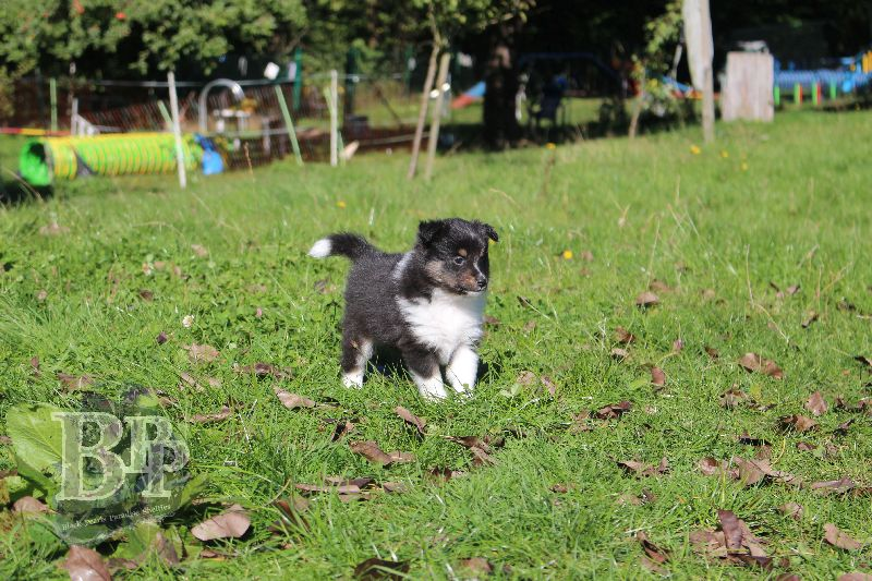 Black_Pearls_Paradise_Shelties_B-Wurf_800X40044.jpg