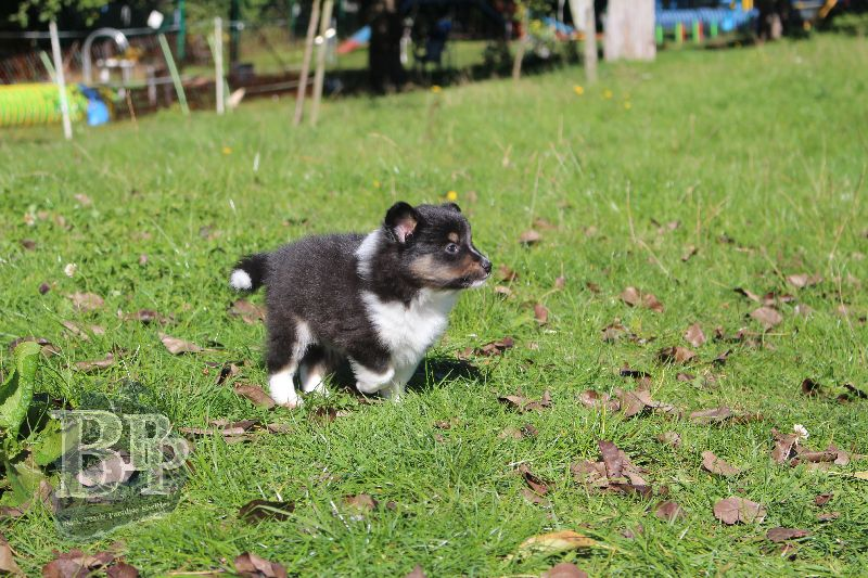 Black_Pearls_Paradise_Shelties_B-Wurf_800X40045.jpg