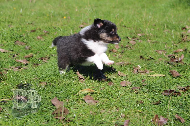 Black_Pearls_Paradise_Shelties_B-Wurf_800X40046.jpg