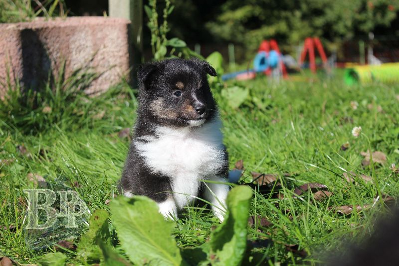 Black_Pearls_Paradise_Shelties_B-Wurf_800X40047.jpg