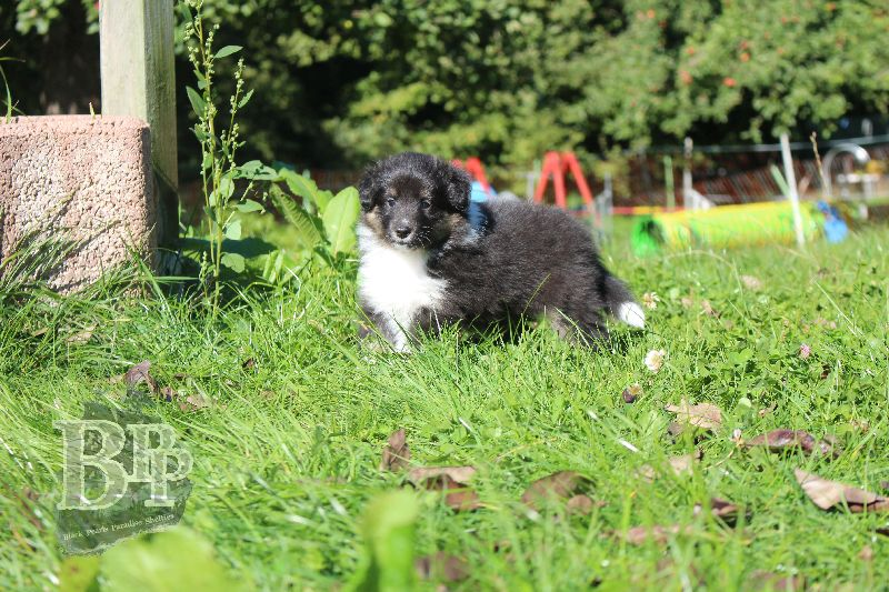 Black_Pearls_Paradise_Shelties_B-Wurf_800X40049.jpg