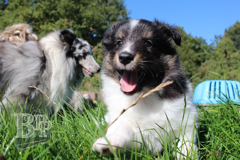 Black_Pearls_Paradise_Shelties_B-Wurf_800X4005.jpg