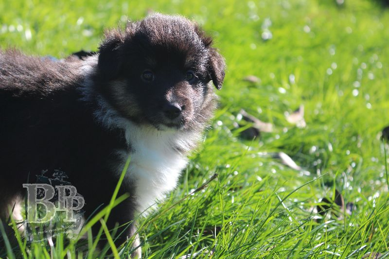 Black_Pearls_Paradise_Shelties_B-Wurf_800X40050.jpg