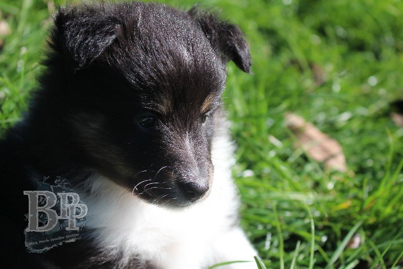 Black_Pearls_Paradise_Shelties_B-Wurf_800X40056.jpg