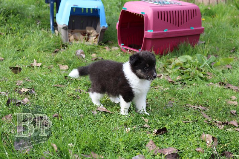 Black_Pearls_Paradise_Shelties_B-Wurf_800X40058.jpg
